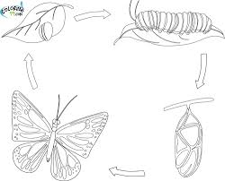 life cycle of a butterfly coloring page inside coloring page