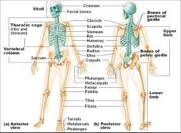 musculoskeletal system anatomy