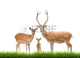 beautiful sika deer family isolated on white background stock