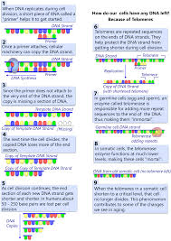 Cell Division Worksheet Answers Are Telomeres The Key To Aging And Cancer