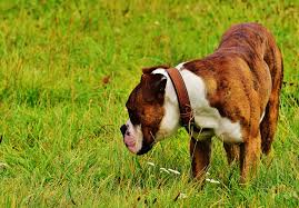 boxer dog pros and cons best dog food for boxers dog food smart