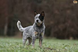 kelpie x australian shepherd similarities and differences between the border collie and the