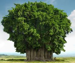 significant buddhist trees not bodhi tree dhamma wheel