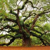 historic oak tree sm jpg