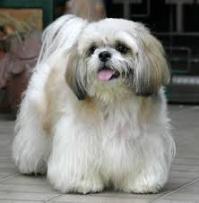 lhasa apso smurf zoo all about animals