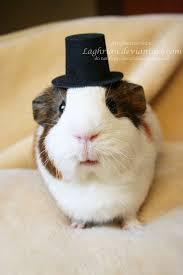 80 best cute guinea pigs images on pinterest cute guinea pigs