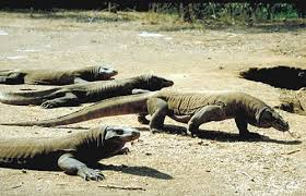 komodo dragon key facts information u0026 habitat