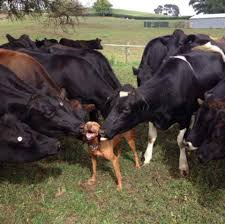 a bunch of cows kissing a dog imgur
