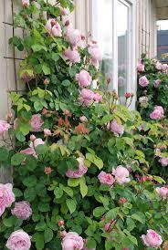 37 best adorable roses images on pinterest flowers garden roses