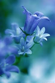 light blue flowers light blue flowers blue is a cool calm color it frequently makes
