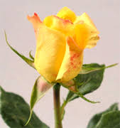 Wholesale Flowers Miami Wholesale Roses Usa Miami Wholesale Roses Flowers Miami Florist