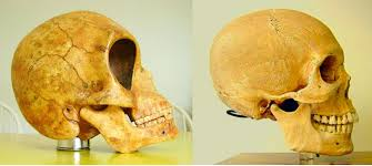 the sealand skull denmark