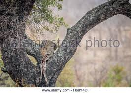leopard feeding on a zebra in a tree in black and white in the