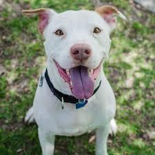 american pitbull terrier qualities friends for life no kill animal adoption u0026 rescue shelter u2013 sammy