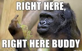 Gorilla Memes - grumpy gorilla meme on imgur