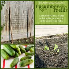 The Gentleman U0027s Cucumber Trellis The Gentleman Caller
