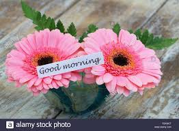 good morning card with pink gerbera daisies stock photo royalty