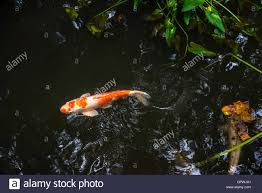 backyard fish pond with koi stock photo royalty free image