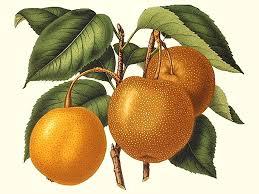 scion plant asian pear scion jpg v u003d1454260283