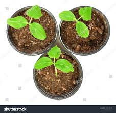 small flower pot little plant three leaves small flower stock photo 106249733