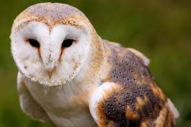 Barn Owls Habitat Barn Owls Given A Helping Home By Students The Stratford Observer