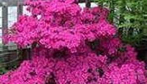 All Year Flowering Shrubs - shrub bushes garden guides