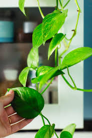 best 25 popular house plants ideas on pinterest apt guide