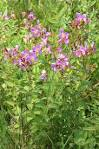 Image result for Rhexia virginica