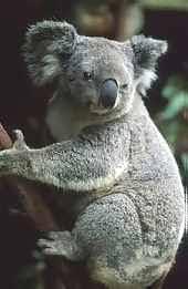 australian mammal marsupial koala national icon australian