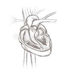 human heart cross section sketch vector art thinkstock