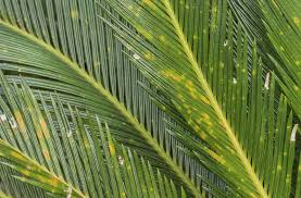 Plant Diseases With Pictures - sago palm diseases and pests u2013 common problems with sago palm plants