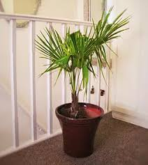 the palm yard palms tropicals and indoor trees for sale in the uk