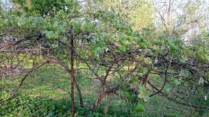 growing seedless grapes stark bro u0027s