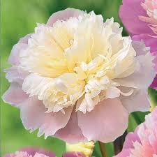 Peony Flower Peony Pink Flower Bulbs Garden Plants U0026 Flowers The Home Depot