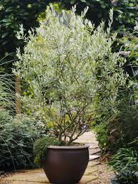 planting pots for sale olive tree care grow an olive tree indoors hgtv