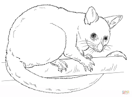 common brushtail possum coloring page free printable coloring pages