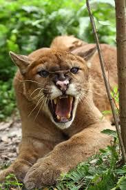 1122 best wildcats images on pinterest animal welfare big cat