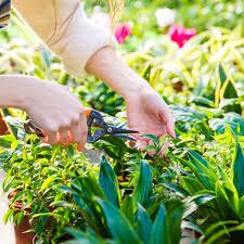 oaktown native plant nursery articles with pothos plant care temperature tag pothos plant