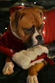 Boxer Puppy Halloween Costumes 249 Funny Boxers Dog Stuff Images