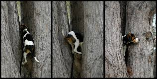bluetick coonhound climbing tree the world u0027s best photos of bella and coonhound flickr hive mind