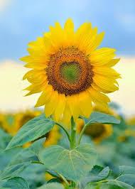 single sun flower wallpapers 14 best ukrainian poppies u0026 flowers images on pinterest flowers