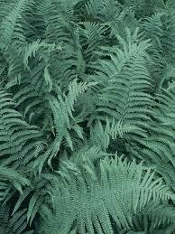 hardy ferns types of ferns hgtv