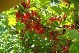 monarda u2013 the fruit nut
