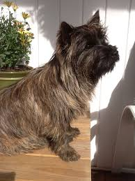 brindle cairn haircut 15 best cairn terrier images on pinterest cairn terrier animaux