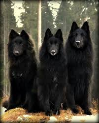 belgian sheepdog laekenois 40 best belgian sheepdog images on pinterest belgian shepherd