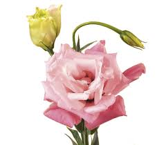 Meaning Of Pink Roses Flowers - discover the language u0026 meanings of flowers teleflora