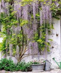 wisteria vine for the patio landscape u2013 a magnificent swirl of