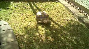 Backyard Habitat Sulcata Tortoise Habitat Home Backyard Youtube