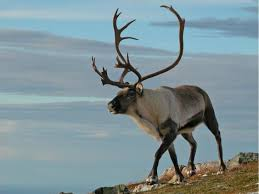 british scientists discover reindeer eyes change colour gold