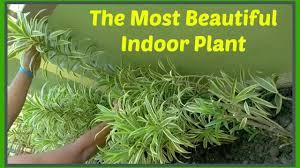 the most beautiful indoor plant dracaena reflexa pleomele song